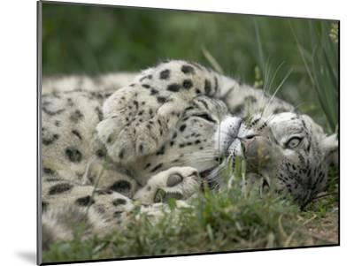 Snow Leopard (Uncia Uncia) Pair Playing Together, Endangered, Native to Asia and Russia-Cyril Ruoso-Mounted Photographic Print