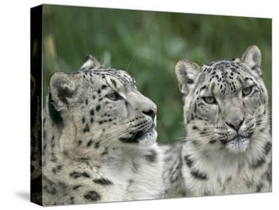 Snow Leopard (Uncia Uncia) Pair Resting Together, Endangered, Native to Asia and Russia-Cyril Ruoso-Stretched Canvas Print