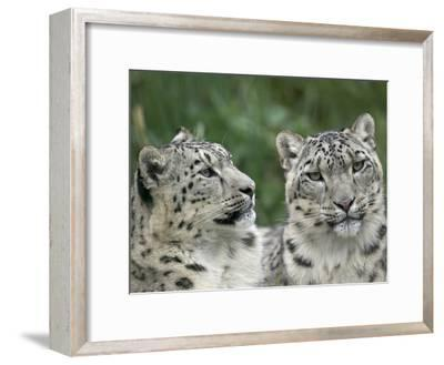 Snow Leopard (Uncia Uncia) Pair Resting Together, Endangered, Native to Asia and Russia-Cyril Ruoso-Framed Photographic Print