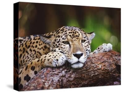 Jaguar (Panthera Onca), Belize Zoo, Belize-Gerry Ellis-Stretched Canvas Print