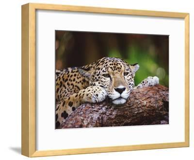 Jaguar (Panthera Onca), Belize Zoo, Belize-Gerry Ellis-Framed Photographic Print