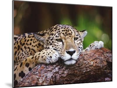 Jaguar (Panthera Onca), Belize Zoo, Belize-Gerry Ellis-Mounted Photographic Print