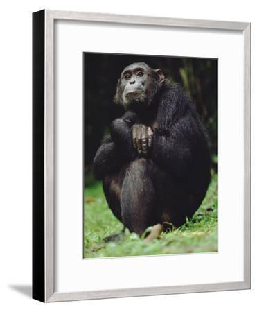 Chimpanzee (Pan Troglodytes), Gombe Stream National Park, Tanzania-Gerry Ellis-Framed Photographic Print