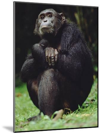 Chimpanzee (Pan Troglodytes), Gombe Stream National Park, Tanzania-Gerry Ellis-Mounted Photographic Print