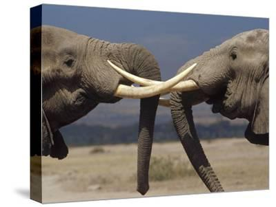 African Elephant (Loxodonta Africana) Bulls Engaged in Greeting Ritual, Amboseli, Kenya-Gerry Ellis-Stretched Canvas Print