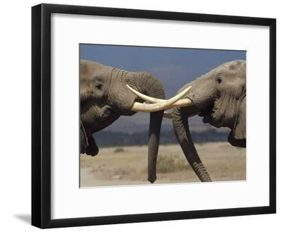 African Elephant (Loxodonta Africana) Bulls Engaged in Greeting Ritual, Amboseli, Kenya-Gerry Ellis-Framed Photographic Print