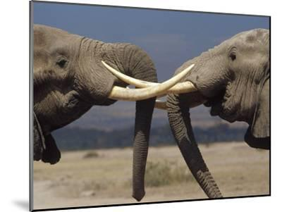 African Elephant (Loxodonta Africana) Bulls Engaged in Greeting Ritual, Amboseli, Kenya-Gerry Ellis-Mounted Photographic Print