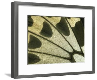 Detail of Birdwing Butterfly (Ornithoptera Croesus) Wing, Female, Papua New Guinea-Gerry Ellis-Framed Photographic Print