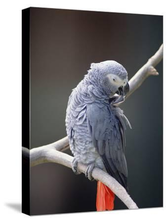 African Grey Parrot (Psittacus Erithacus) Preening, East Africa-Gerry Ellis-Stretched Canvas Print