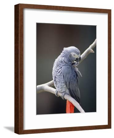 African Grey Parrot (Psittacus Erithacus) Preening, East Africa-Gerry Ellis-Framed Photographic Print