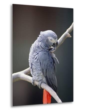 African Grey Parrot (Psittacus Erithacus) Preening, East Africa-Gerry Ellis-Metal Print