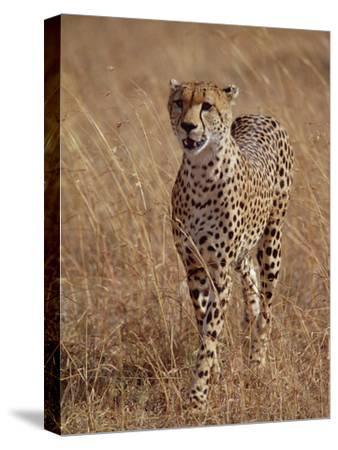 Cheetah (Acinonyx Jubatus), Walking on Savannah, Masai Mara National Reserve, Kenya-Gerry Ellis-Stretched Canvas Print