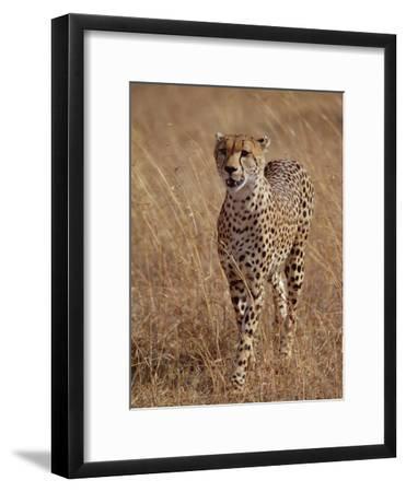 Cheetah (Acinonyx Jubatus), Walking on Savannah, Masai Mara National Reserve, Kenya-Gerry Ellis-Framed Photographic Print