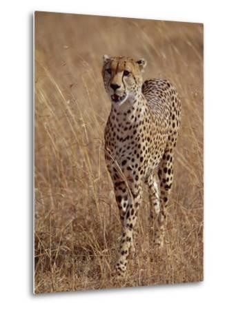 Cheetah (Acinonyx Jubatus), Walking on Savannah, Masai Mara National Reserve, Kenya-Gerry Ellis-Metal Print