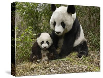 Giant Panda (Ailuropoda Melanoleuca) Mother and Her Cub, Wolong Nature Reserve, China-Katherine Feng-Stretched Canvas Print