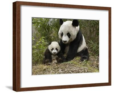 Giant Panda (Ailuropoda Melanoleuca) Mother and Her Cub, Wolong Nature Reserve, China-Katherine Feng-Framed Photographic Print