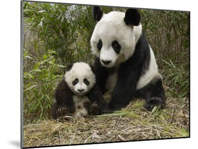Giant Panda (Ailuropoda Melanoleuca) Mother and Her Cub, Wolong Nature Reserve, China-Katherine Feng-Mounted Photographic Print