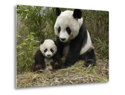 Giant Panda (Ailuropoda Melanoleuca) Mother and Her Cub, Wolong Nature Reserve, China-Katherine Feng-Metal Print