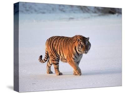 Siberian Tiger (Panthera Tigris Altaica) Walking across Snow-Konrad Wothe-Stretched Canvas Print