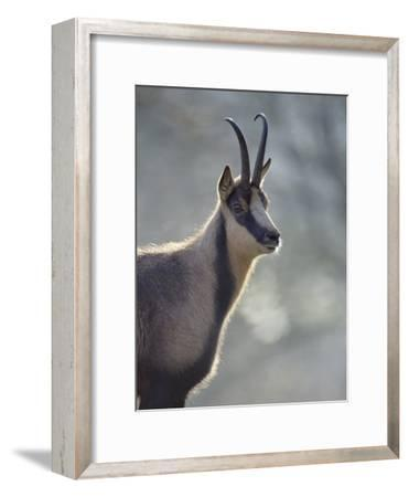 Chamois (Rupicapra Rupicapra) Europe-Konrad Wothe-Framed Photographic Print