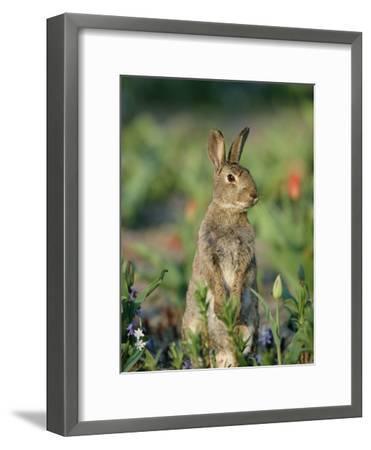 Rabbit (Oryctolagus Cuniculus) Germany-Konrad Wothe-Framed Photographic Print