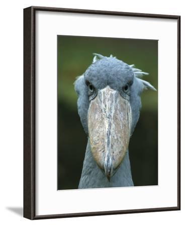 Whale-Headed Stork (Balaeniceps Rex)-Konrad Wothe-Framed Photographic Print