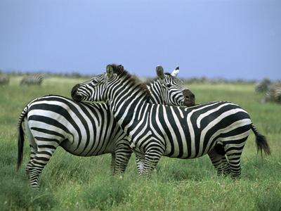 Zebra (Equus Burchellii) Pair Resting, Serengeti National Park, Tanzania-Konrad Wothe-Framed Photographic Print