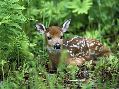 White-Tailed Deer (Odocoileus Virginianus) Fawn Amid Ferns, North America-Konrad Wothe-Framed Photographic Print