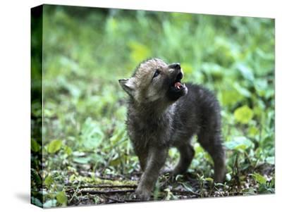 Timber Wolf (Canis Lupus) Pup Howling, North America-Konrad Wothe-Stretched Canvas Print