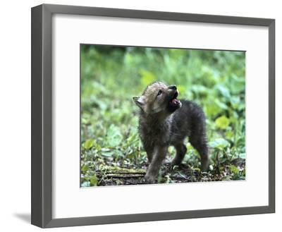 Timber Wolf (Canis Lupus) Pup Howling, North America-Konrad Wothe-Framed Photographic Print