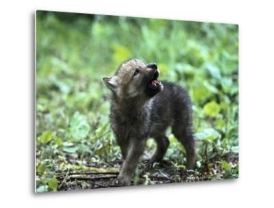 Timber Wolf (Canis Lupus) Pup Howling, North America-Konrad Wothe-Metal Print