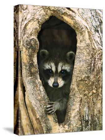 Raccoon (Procyon Lotor) Baby Peering Out from Hole in Tree, North America-Konrad Wothe-Stretched Canvas Print