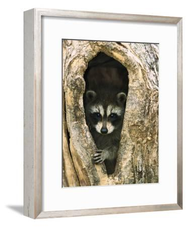 Raccoon (Procyon Lotor) Baby Peering Out from Hole in Tree, North America-Konrad Wothe-Framed Photographic Print