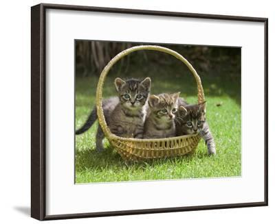 Domestic Cat (Felis Catus) Three Kittens in a Basket, Germany-Konrad Wothe-Framed Photographic Print