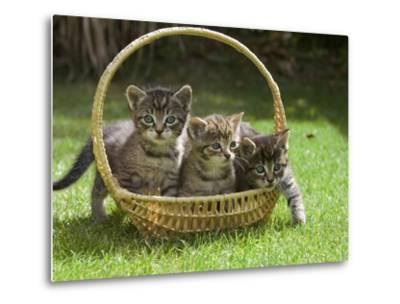 Domestic Cat (Felis Catus) Three Kittens in a Basket, Germany-Konrad Wothe-Metal Print
