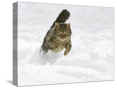 Domestic Cat (Felis Catus) Male Running in Snow, Germany-Konrad Wothe-Stretched Canvas Print