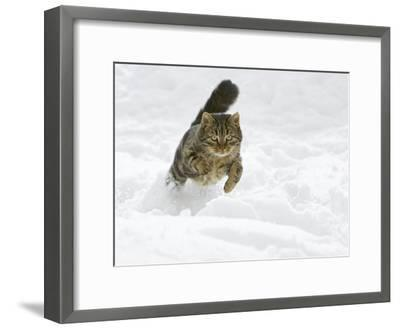 Domestic Cat (Felis Catus) Male Running in Snow, Germany-Konrad Wothe-Framed Photographic Print