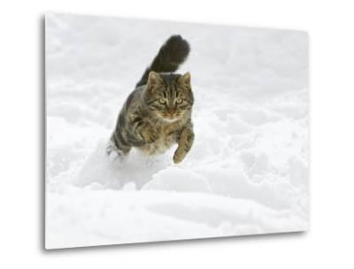 Domestic Cat (Felis Catus) Male Running in Snow, Germany-Konrad Wothe-Metal Print