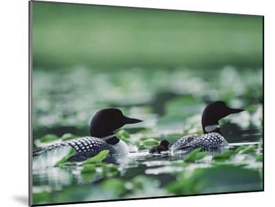 Common Loon (Gavia Immer) Mated Couple Swimming Among Water Plants, Wyoming-Michael S^ Quinton-Mounted Photographic Print