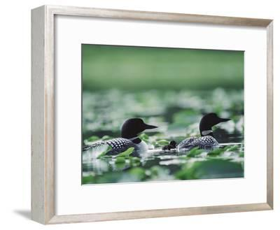 Common Loon (Gavia Immer) Mated Couple Swimming Among Water Plants, Wyoming-Michael S^ Quinton-Framed Photographic Print