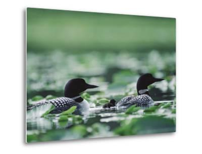 Common Loon (Gavia Immer) Mated Couple Swimming Among Water Plants, Wyoming-Michael S^ Quinton-Metal Print