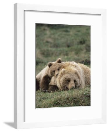 Alaskan Brown Bear or Grizzly Bear (Ursus Arctos) Mother and Cub Resting, Denali , Alaska-Michael S^ Quinton-Framed Photographic Print