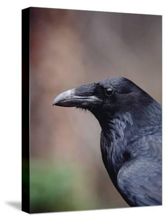 Raven (Corvus Corax), Yellowstone National Park, Wyoming-Michael S^ Quinton-Stretched Canvas Print