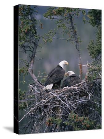 Bald Eagle (Haliaeetus Leucocephalus) Pair on Nest, Alaska-Michael S^ Quinton-Stretched Canvas Print