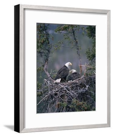 Bald Eagle (Haliaeetus Leucocephalus) Pair on Nest, Alaska-Michael S^ Quinton-Framed Photographic Print