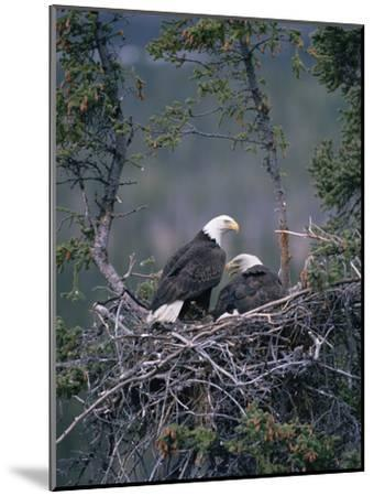 Bald Eagle (Haliaeetus Leucocephalus) Pair on Nest, Alaska-Michael S^ Quinton-Mounted Photographic Print