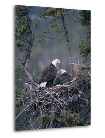 Bald Eagle (Haliaeetus Leucocephalus) Pair on Nest, Alaska-Michael S^ Quinton-Metal Print