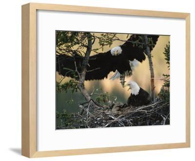 Bald Eagle (Haliaeetus Leucocephalus) Returning to Nest with Food for Chicks, Alaska-Michael S^ Quinton-Framed Photographic Print