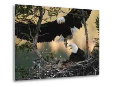 Bald Eagle (Haliaeetus Leucocephalus) Returning to Nest with Food for Chicks, Alaska-Michael S^ Quinton-Metal Print
