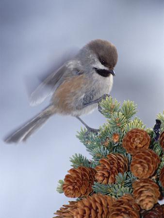 Boreal Chickadee (Parus Cinctus) Perching on a Tree, Alaska-Michael S^ Quinton-Framed Photographic Print